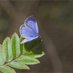 Синявець Ікар (Polyommatus icarus)