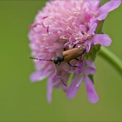 комахи - Псевдовадо́нія звича́йна