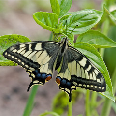 Махаон (лат. Papilio machaon)