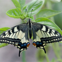 Косатець Махаон (Papilio machaon