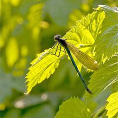 бабка - Calopteryx splendens