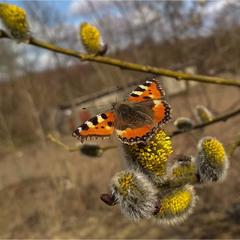 Сонцевик кропив'яний (Aglais urticae)-перший метелик цієї весни