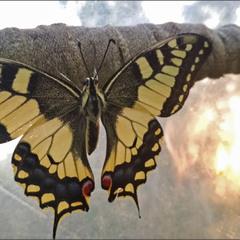 Косатець Махаон (Papilio machaon)