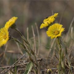 перші весняні квіточки