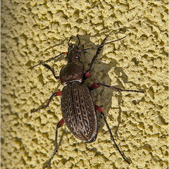 Жужелица зернистая (лат. Carabus granulatus)