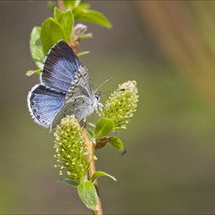 Синявець крушиновий (Celastrina argiolus)
