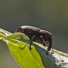 Довгоносик сосновий великий (Hylobius abietis)