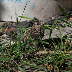 Мухоловка сіра (Muscicapa striata) - малюк