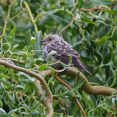 Мухоловка сіра (Muscicapa striata)  - пташеня
