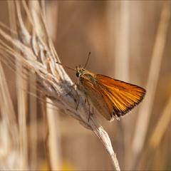 Головчак лісовий (Thymelicus sylvestris)