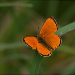 Червонец непарный (лат. Lycaena dispar)  - самец