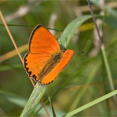 Дукачик непарний (Lycaena dispar) - самець