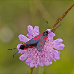 пестрянка клеверная (Zygaena trifolii)