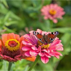 павлиный глаз на осеннем цветочке