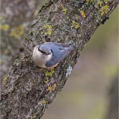 Повзик звичайний, смовзик (Sitta europaea L.)