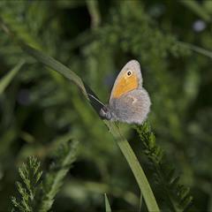 малий жовтий сатир (Coenonympha pamphilus)