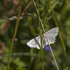 Eupithecia immundata