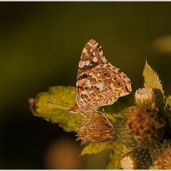 Сонцевик будяковий (Vanessa cardui) - Нижня поверхня крил