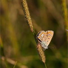 Синявець Ікар - самка