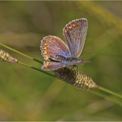 голубянка Икар (лат. Polyommatus icarus)