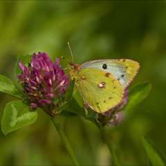 Жовтюх осьмак (Colias hyale)