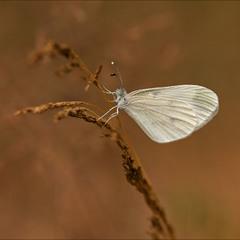 Білюшок гірчичник (Leptidea sinapis)