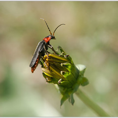 Мягкотелка бурая (лат. Cantharis fusca)