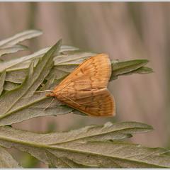 стеблевой мотылёк (лат. Ostrinia nubilalis)