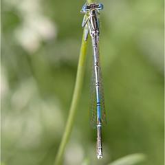 Лютка-невеста (лат. Lestes sponsa)