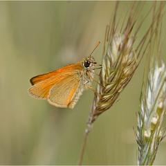 толстоголовка лесная (лат. Thymelicus sylvestris)
