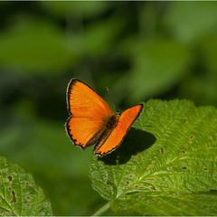 Червонец непарный (лат. Lycaena dispar)