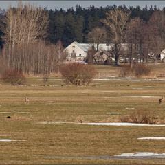 сарни  на пасовищі - весна