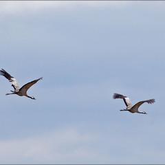 пара журавлів на весняному перельоті - 2