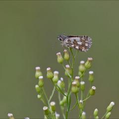 Головчак серпійний (Pyrgus serratulae)