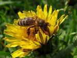 Как пчелка