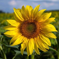 Квітка сонця.