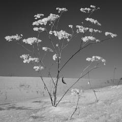 Зимовий цвіт.