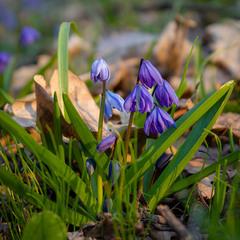 Весняні квіти.