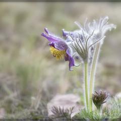 Степ цвіте