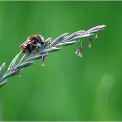 Пчеломедведь в профиль =)