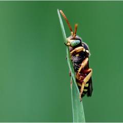 Неправильная пчела