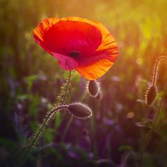 Полум'яна квітка