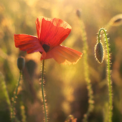 Сонячне фламенко