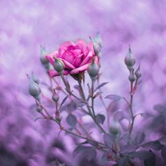 Етюд в рожевих тонах