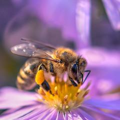 Жовтнева бджілка