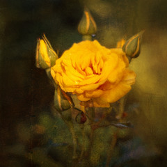 Сонячна троянда