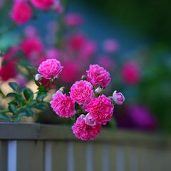 Трояндочки...
