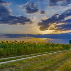 Вечір біля соняшників