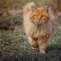 Тот самый кот, жив-здоров  - Гроза кошек.