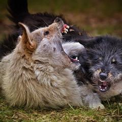 Игры городских волков.